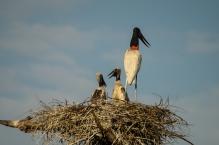 Tuiui, der Wappenvogel des Pantanal