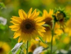 Sonnenblume2 (1 von 1)